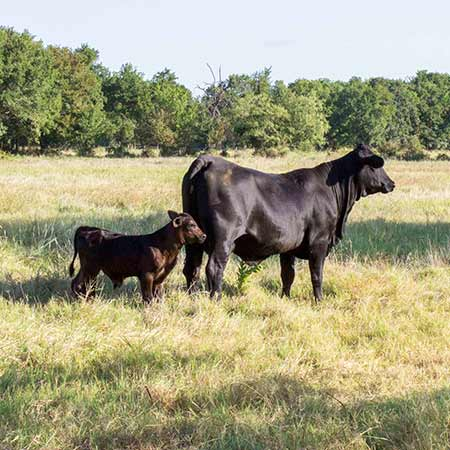 calves for sale in texas