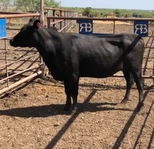 Bred Angus Cow, #18781
