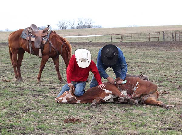 Ribear Cattle Co. offers cattle for sale nation wide, and specializes in cowboy work