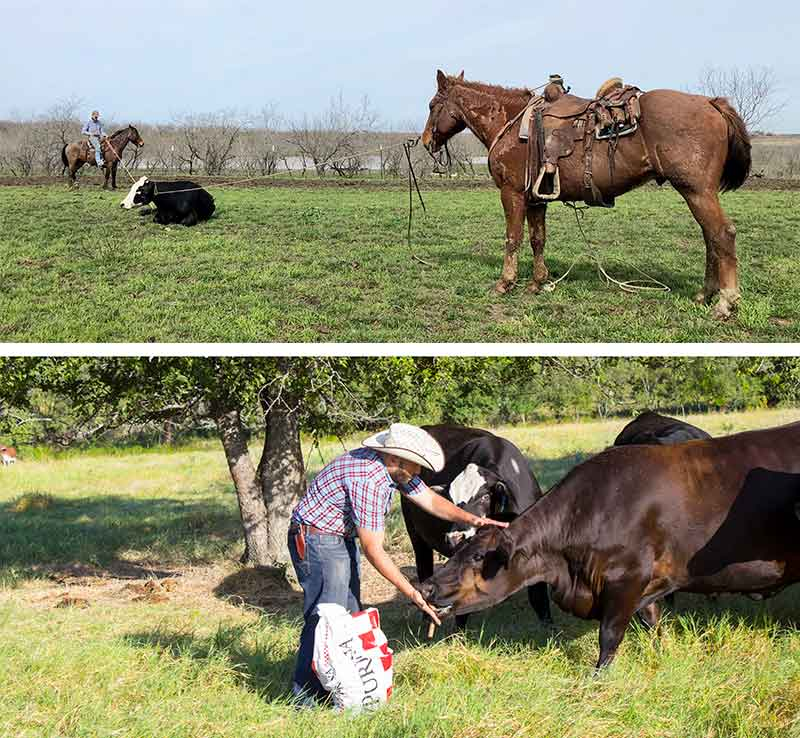 RiBear Cattle Co provides healthy cattle for sale in Texas