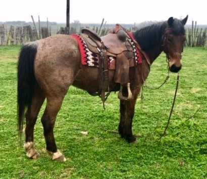 9-10 Year Old Grade Bay Roan QH Gelding, #0315