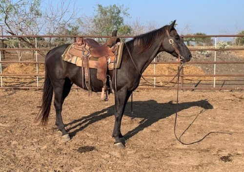5-year-old Ranch/Rope Gelding, #Spade