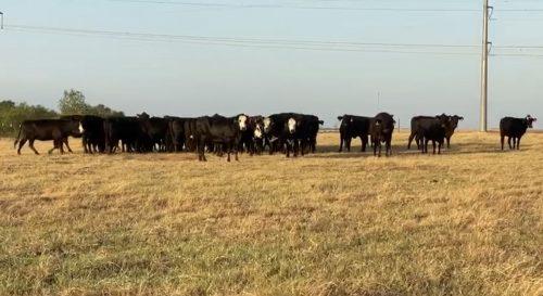 44 head of Angus, Brangus and Black Motley Face/Baldy fall/winter calving cows, #0817
