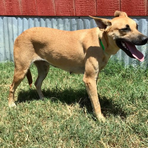 Black Mouth Cur x Kelpie cross bay female, #Moxie