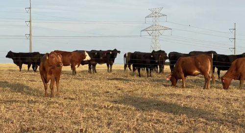 164 head of Angus/Brangus, Red Angus, Beefmaster and Charolais/Charolais Cross bred cows, #0816