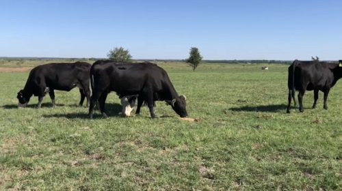 11 heavy bred black and black motley face cows, #0930