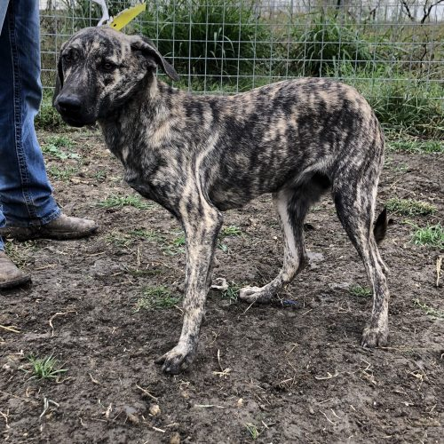 Male Brindle Bay Pup, #No Collar