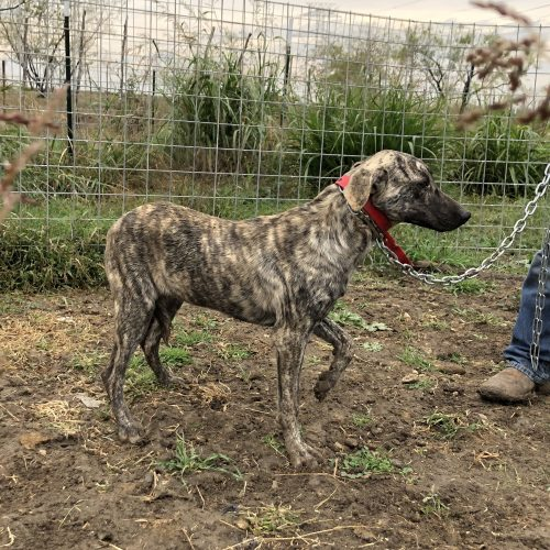 Male Brindle Bay Pup, #Red Collar