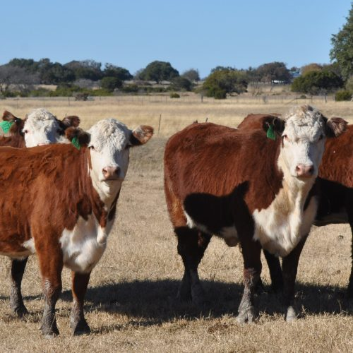 17 heavy bred polled Hereford heifers, #1217