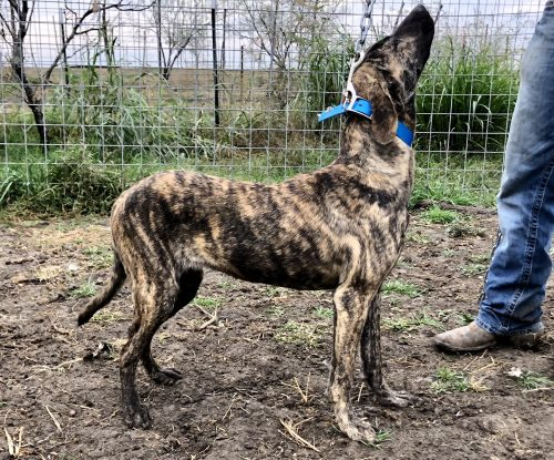 Female Brindle Bay Pup, #Blue Collar