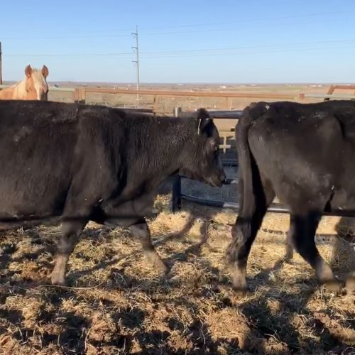 5 Angus Bred Cows, #0117