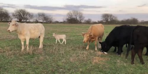 5 Angus cross and Charolais cross exposed cows and one pair, #03152