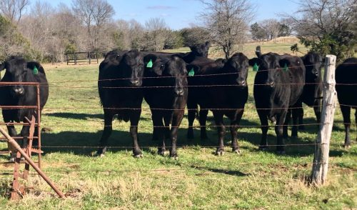 18 head of really nice Angus plus cows, #0311