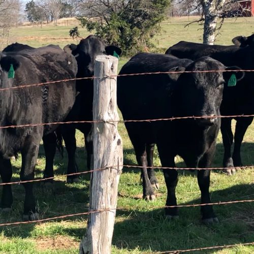 18 head of really nice Angus plus cows, #0311
