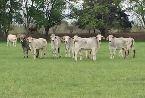 11 head of Brahman replacement heifers, #04092