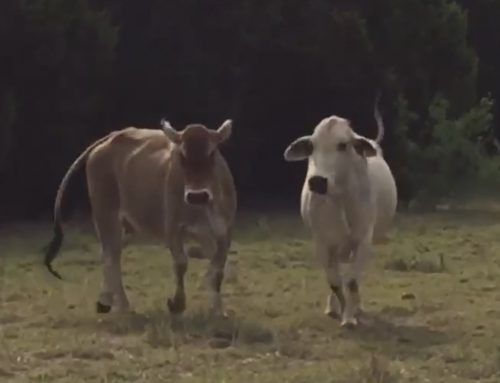 14 Brahman cows, one bull and two calves coming out of the country, #04294