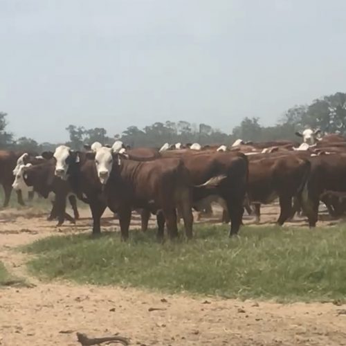 314 Hereford Plus replacement heifers, #0628
