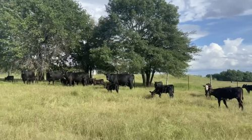 20 head of second and third calf angus pairs, #07012