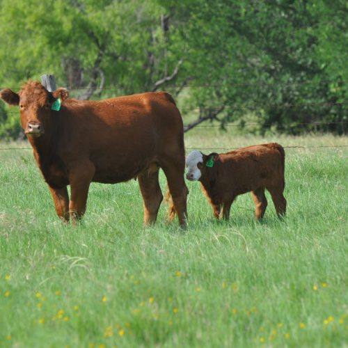 3 Red Angus Cross first-calf pairs with Hereford sired calves, #0722