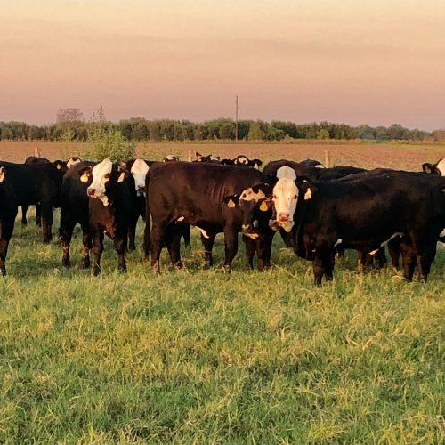 40 head of super fancy Brangus baldy open replacement heifers - #0806