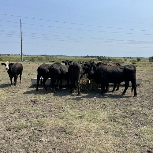 25 head of black and black motley face bred cows, #0910