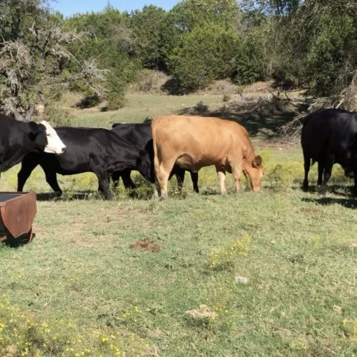 25 young Angus and black motley face cows #10142