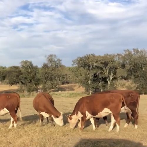 35 head of 3-6 year old big, stout Hereford bred cows, #1005